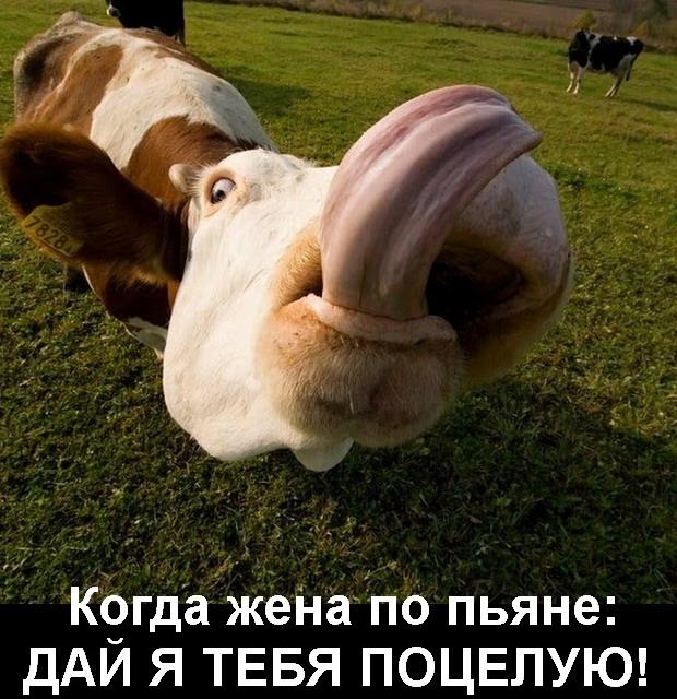 корова поцелуй