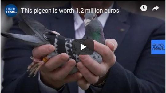 Куплен почтовый голубь за 1,4 миллиона $