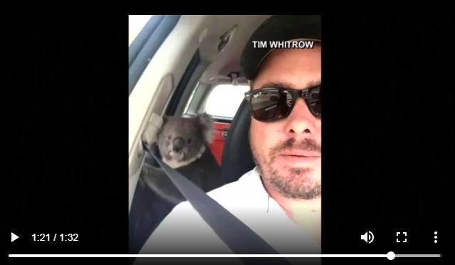 Коала забирается в машину, чтобы отдохнуть под кондиционером