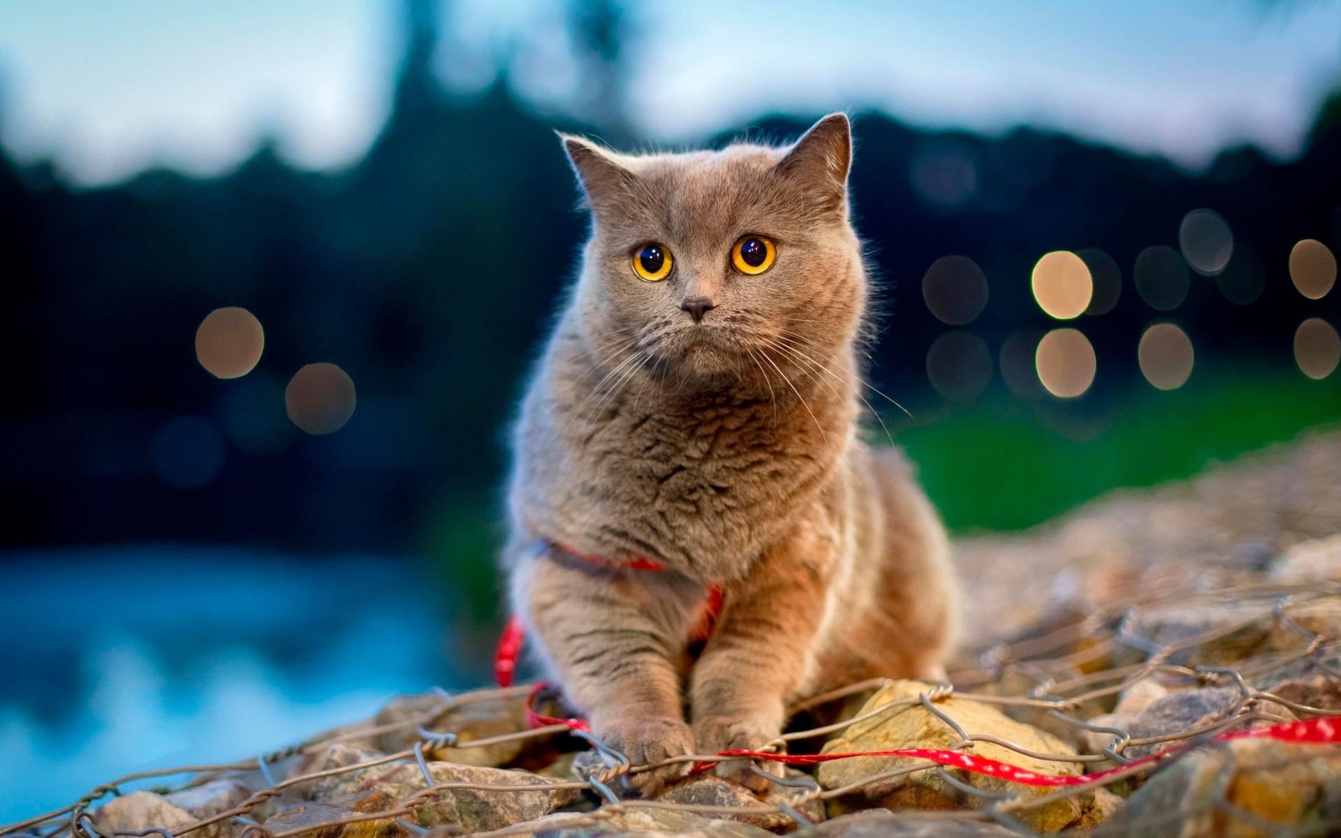 Wallpapers cat