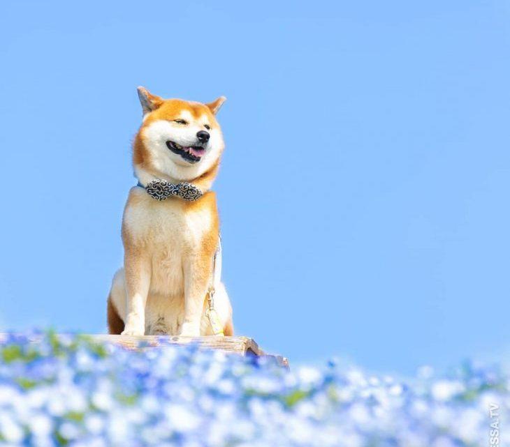 Хати — самый популярный Шиба ину, который любит фотографироваться в цветах