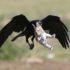 Фотограф спас крольчонка из лап ворона