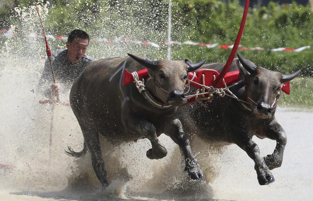 Ежегодные гонки на буйволах в Таиланде (13 фото)