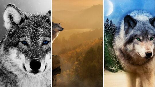 Обои на телефон — волки 1080×1920